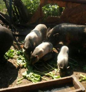 Травоядные свинки