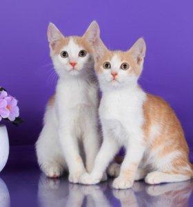 Рыжие и бело-рыжие котята