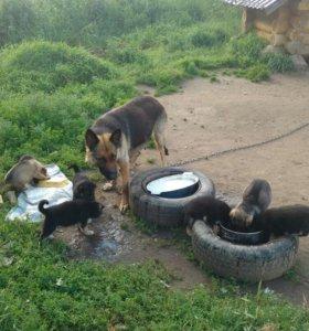 Маленькие ,умные овчарята ждут хороших,хозяев)