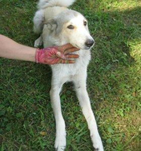 Собака породы лайка Лилу