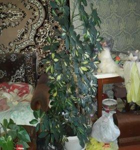 Цветы шифлера и антуриум