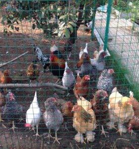 Инкубационное яйцо,цыплята,петушки на племя,обмен.