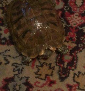 Красноухая черепаха, зовут Афоня