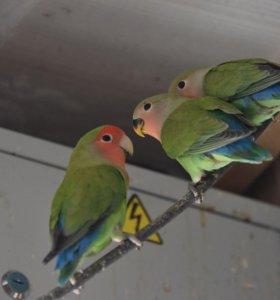 Птенцы неразлучников розовощеких