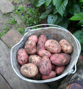 Картофель ,тыкву