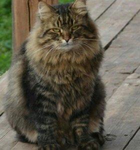 Сибирская кошечка
