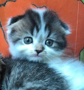 Вислоухий мачо