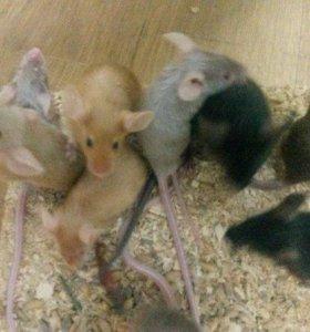 Атласные мышки