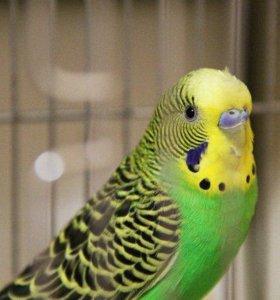 Волнистого попугайчика.