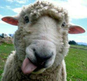 Овцы, обменяю на сено