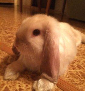 Кролик NHD