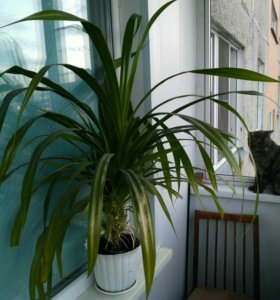 Цветок. Пальма остролистная, шагающая