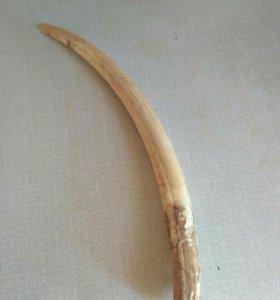 Бивень моржа