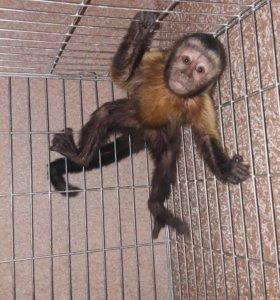 Капуцин обезьянка