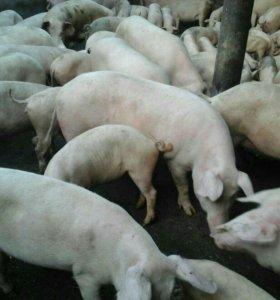 Свиньи 89284969599 звонить сюда