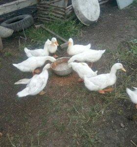 Белые утки, индоутки