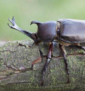 Личинки жука рогача Allomyrina dichotoma