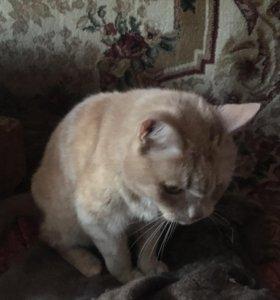 Кот рыжий кастрированный