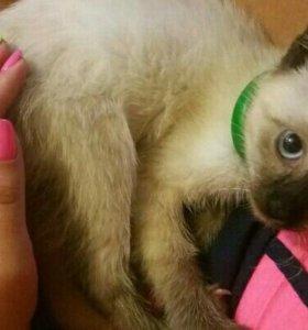 Породистая сиамская котя ищет хозяина девочка 3,5м