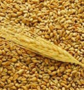 Зерно (пшеница)
