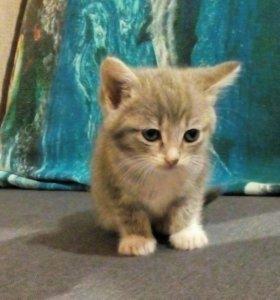 Котята британской кошки.