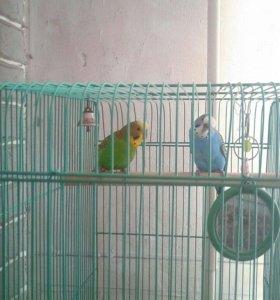 Продам пару волнис попугаев