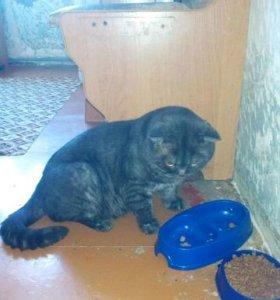 Шикарный кот. 7 кг.В разведение или для души.