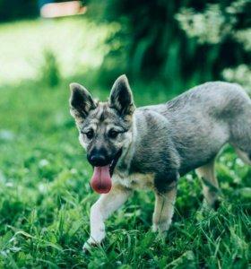 Серафина щенок