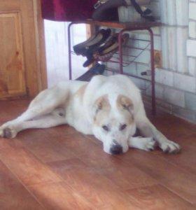 Собака алабай,6 месяцев