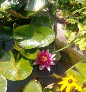 Нимфея водная лилия
