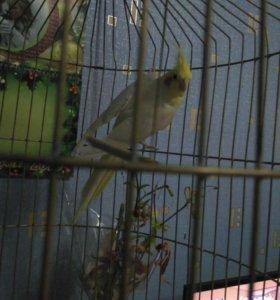 Корелла попугай девочка