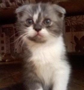 Красивый вислоухий котик