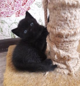 Шотландские вислоухие каштанового окраса котята