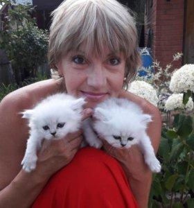 Персидские котята (серебристая шиншилла)