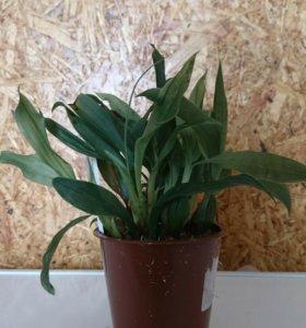 Орхидея Променея Санлайт