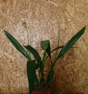 Орхидея Энциклия Октопусси