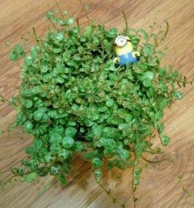 Пеперомия, ампельное растение