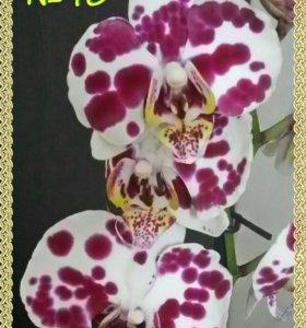 Отцветшие орхидеи фаленопсис