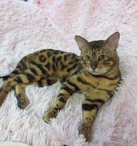 Самые элитные котята домашнего леопарда