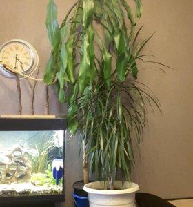Драцена и др комнатные растения
