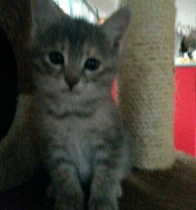 Котенок внучка бенгальской кошки