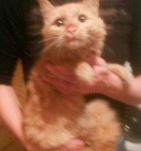 Котик рыжий КЕША