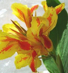 Цветы Индийская канна