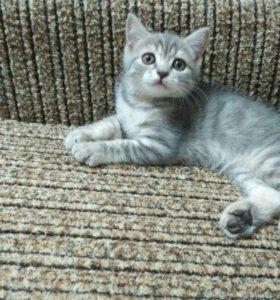 Продам британского котёнка.