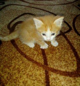 Рыжие котятки