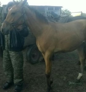 Лошадь,полукровка 1 год. Телка 6 мес.