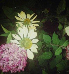 Эхинацея лимонная.цветы в сад.Редкий сорт.