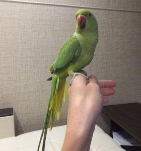 Ожереловый попугай с клеткой