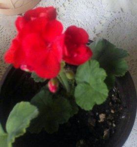 Цветок геронь