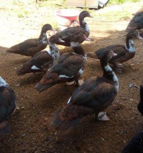 Мускусные утки